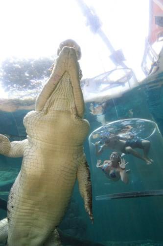 Bơi cùng cá sấu khổng lồ trong lồng tử thần - ảnh 5
