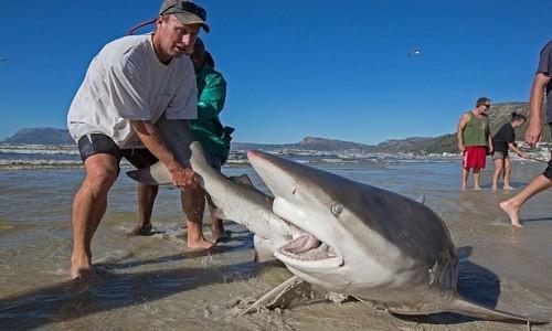 Ngư dân mạo hiểm kéo cá mập dài 2,5 mét về biển - ảnh 2