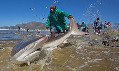 Ngư dân mạo hiểm kéo cá mập dài 2,5 mét về biển - ảnh 3