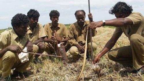 Bộ lạc kiếm sống nhờ bắt rắn độc ở Ấn Độ - ảnh 1