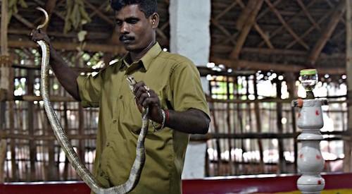 Bộ lạc kiếm sống nhờ bắt rắn độc ở Ấn Độ - ảnh 2