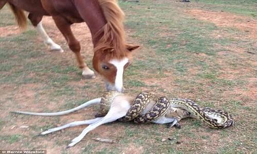 Ngựa sững sờ nhìn trăn khổng lồ nuốt chửng chuột túi - ảnh 1
