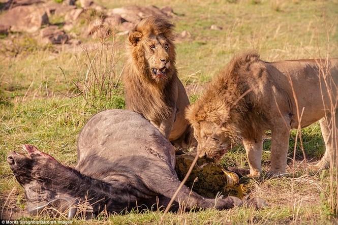 Thêm những hình ảnh anh em sư tử triệt hạ trâu rừng - ảnh 10