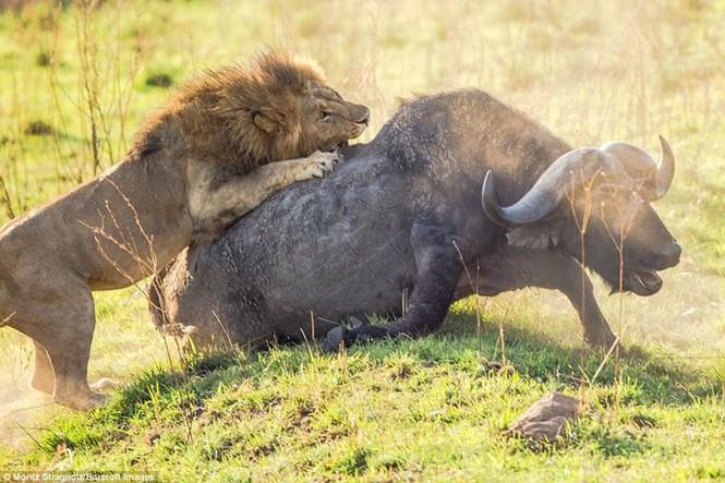 Thêm những hình ảnh anh em sư tử triệt hạ trâu rừng - ảnh 2
