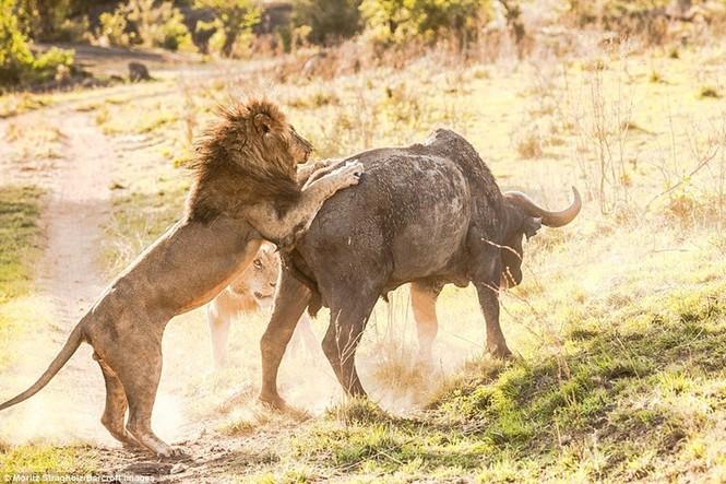Thêm những hình ảnh anh em sư tử triệt hạ trâu rừng - ảnh 3