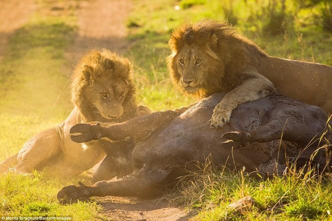 Thêm những hình ảnh anh em sư tử triệt hạ trâu rừng - ảnh 9