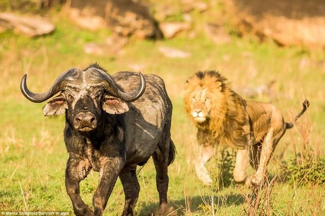 Thêm những hình ảnh anh em sư tử triệt hạ trâu rừng - ảnh 1