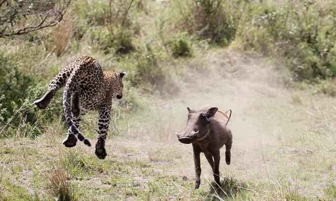 Báo đốm mang thai bay người trên không vồ gọn lợn rừng - ảnh 4