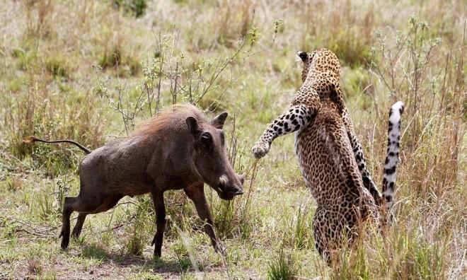 Báo đốm mang thai bay người trên không vồ gọn lợn rừng - ảnh 5