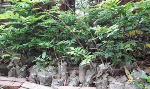 Bắc Ninh: Cây sưa 400 tuổi ở đình Đông Cốc có gì đặc biệt? - ảnh 10