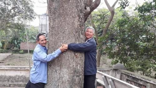 Bắc Ninh: Cây sưa 400 tuổi ở đình Đông Cốc có gì đặc biệt? - ảnh 1