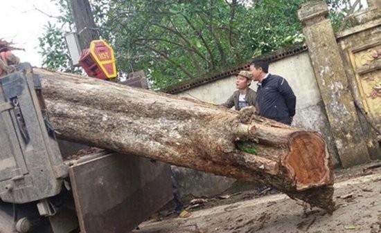 Cây sưa 200 tuổi ở Bắc Ninh được bán với giá 26 tỷ đồng. Ảnh: Thanh niên.