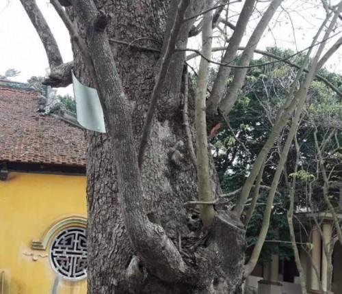 Bắc Ninh: Cây sưa 400 tuổi ở đình Đông Cốc có gì đặc biệt? - ảnh 5