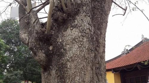 Bắc Ninh: Cây sưa 400 tuổi ở đình Đông Cốc có gì đặc biệt? - ảnh 6