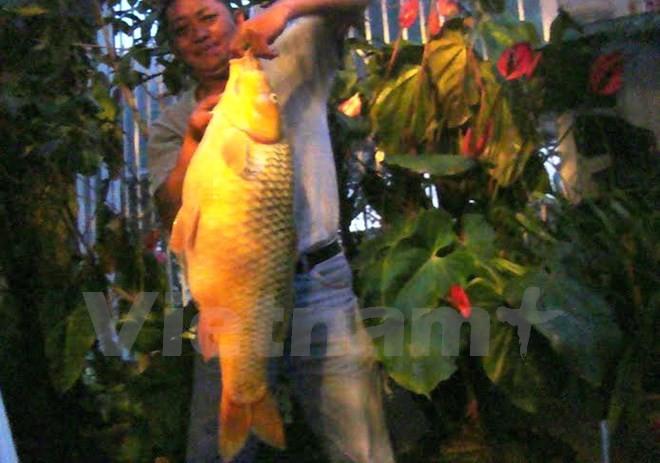 Ngỡ ngàng, câu được cá chép vàng khổng lồ hơn 10kg - ảnh 1