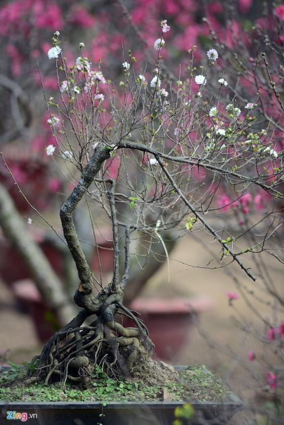 Ngắm vườn mai trắng cho thuê có một không hai ở Hà Nội - ảnh 3