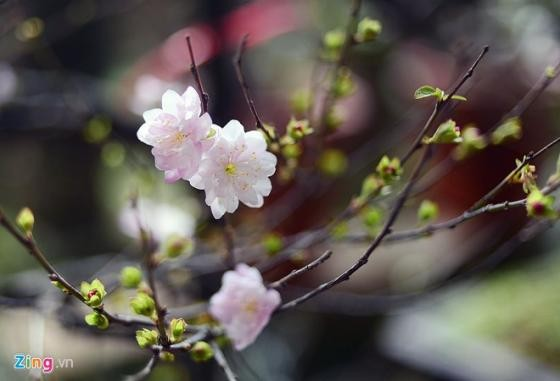Ngắm vườn mai trắng cho thuê có một không hai ở Hà Nội - ảnh 4