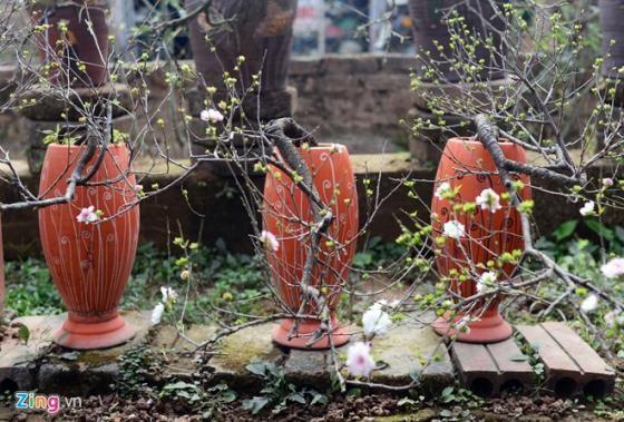 Ngắm vườn mai trắng cho thuê có một không hai ở Hà Nội - ảnh 5