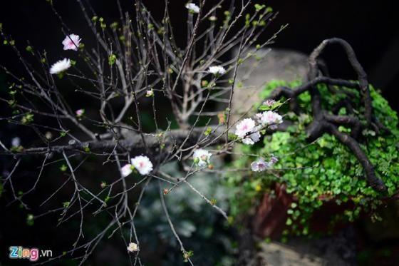 Ngắm vườn mai trắng cho thuê có một không hai ở Hà Nội - ảnh 6