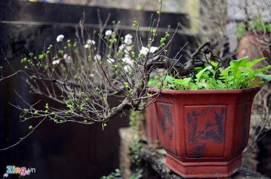 Ngắm vườn mai trắng cho thuê có một không hai ở Hà Nội - ảnh 7