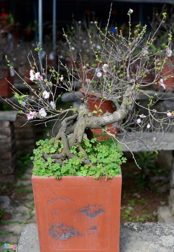 Ngắm vườn mai trắng cho thuê có một không hai ở Hà Nội - ảnh 8