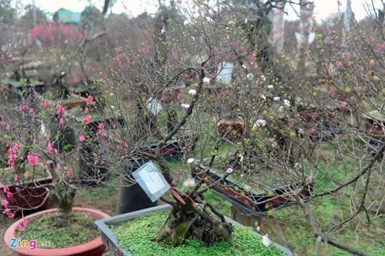 Ngắm vườn mai trắng cho thuê có một không hai ở Hà Nội - ảnh 9
