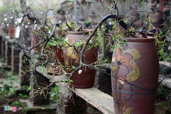 Ngắm vườn mai trắng cho thuê có một không hai ở Hà Nội - ảnh 10