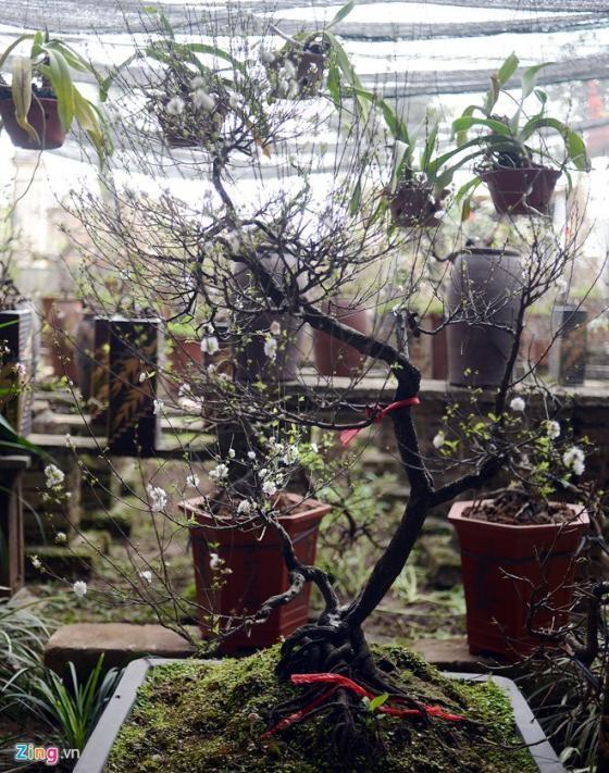 Ngắm vườn mai trắng cho thuê có một không hai ở Hà Nội - ảnh 11