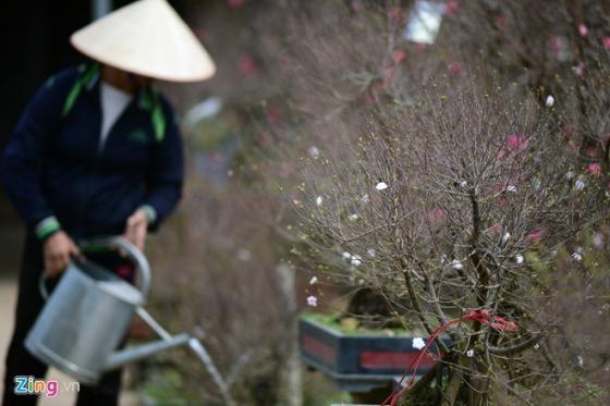 Ngắm vườn mai trắng cho thuê có một không hai ở Hà Nội - ảnh 12