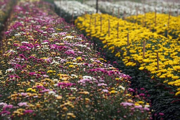 Đường đi đến 5 làng hoa nổi tiếng dịp giáp Tết - ảnh 1