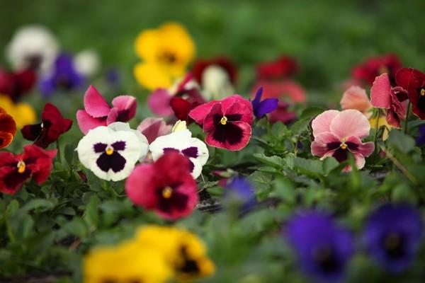 Đường đi đến 5 làng hoa nổi tiếng dịp giáp Tết - ảnh 10