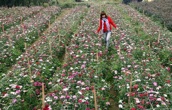 Đường đi đến 5 làng hoa nổi tiếng dịp giáp Tết - ảnh 3