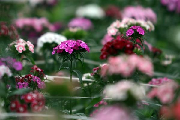 Đường đi đến 5 làng hoa nổi tiếng dịp giáp Tết - ảnh 4