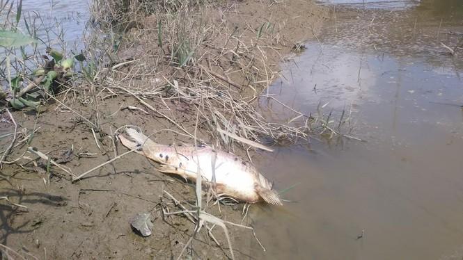 Cá chết bất thường trên sông Bàn Thạch - ảnh 3