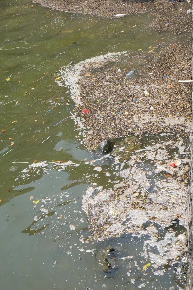 hồ tây, hà nội, ô nhiễm, cá chết - ảnh 11
