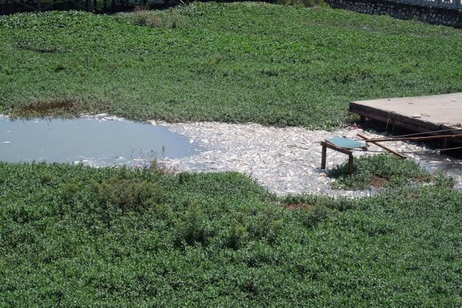 hồ tây, hà nội, ô nhiễm, cá chết - ảnh 9