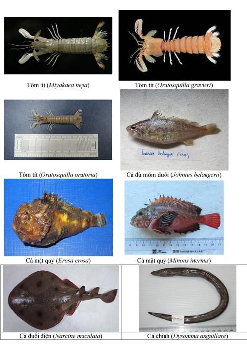 Hình ảnh các loại hải sản sống ở tầng đáy 4 tỉnh miền Trung - ảnh 7