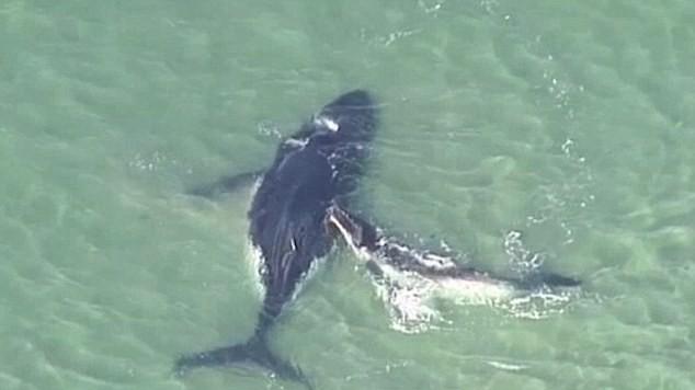 Cá voi con giải cứu mẹ bị mắc kẹt ở vùng nước nông - ảnh 1