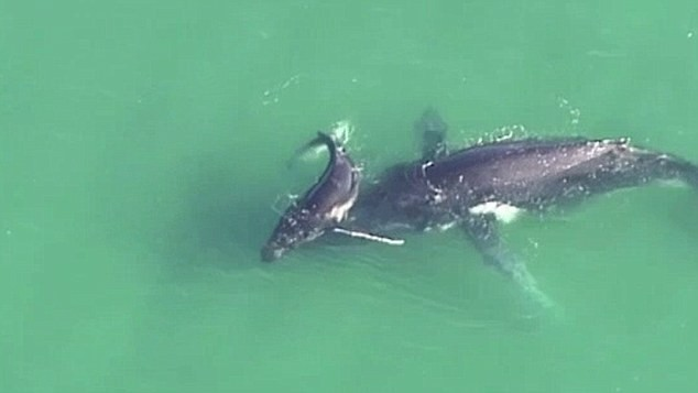 Cá voi con giải cứu mẹ bị mắc kẹt ở vùng nước nông - ảnh 2