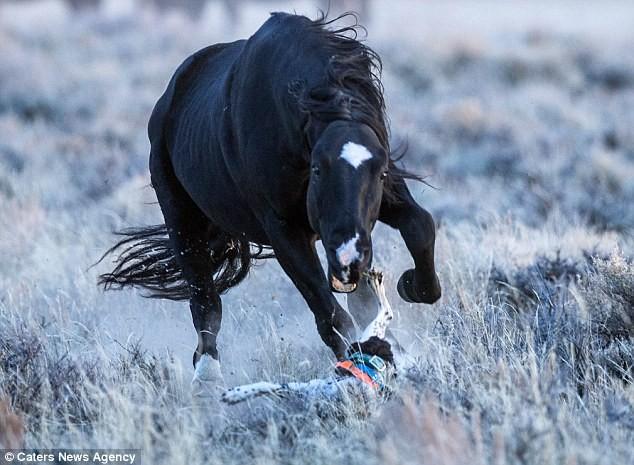 Nghẹt thở khoảnh khắc ngựa hoang truy sát chó săn - ảnh 2