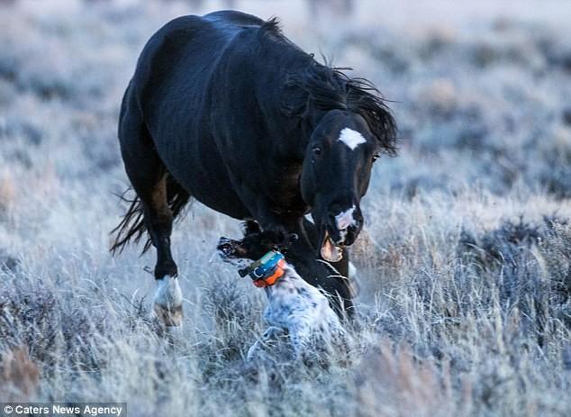 Nghẹt thở khoảnh khắc ngựa hoang truy sát chó săn - ảnh 5
