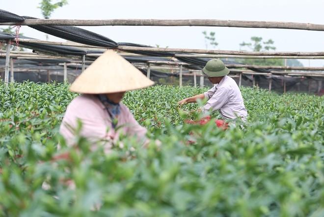 Cận cảnh làng hoa Hà Nội vào mùa Tết - ảnh 2