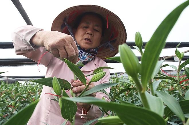 Cận cảnh làng hoa Hà Nội vào mùa Tết - ảnh 3