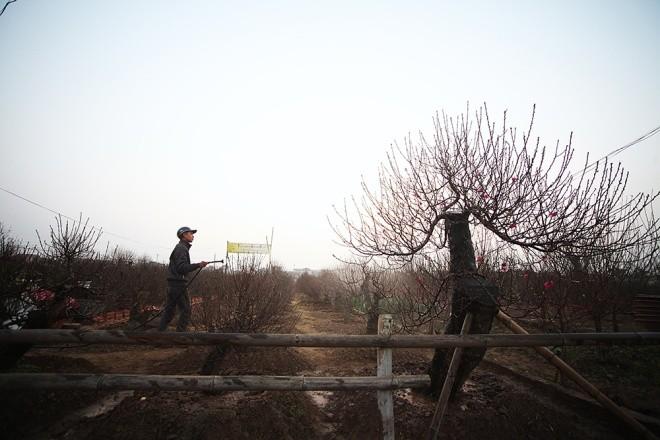 Cận cảnh làng hoa Hà Nội vào mùa Tết - ảnh 4