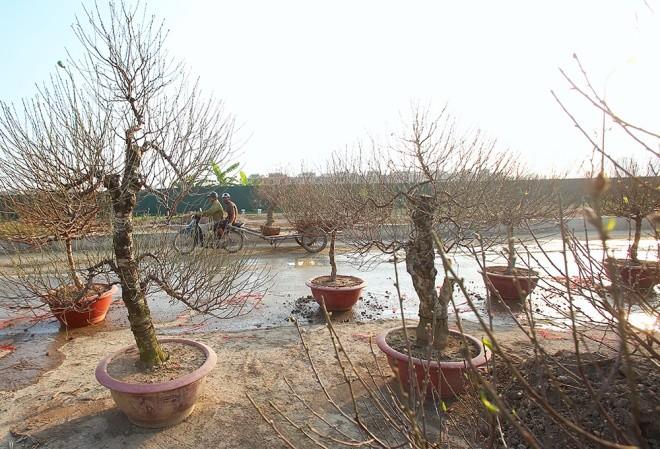 Cận cảnh làng hoa Hà Nội vào mùa Tết - ảnh 5