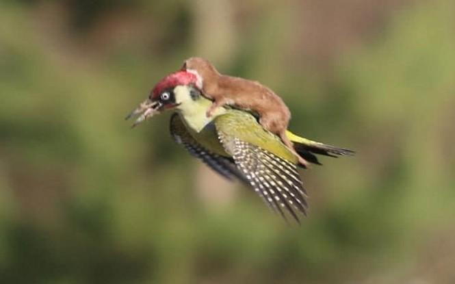 """Khoảng khắc kỳ thú khi động vật thích """"quá giang"""" - ảnh 8"""