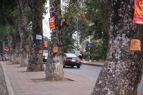 Hàng loạt cây xà cừ ở Hà Nội bị lột vỏ - ảnh 1