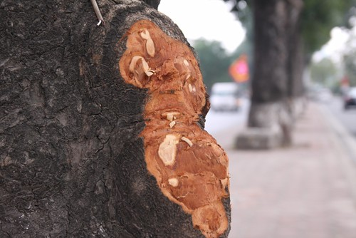 Hàng loạt cây xà cừ ở Hà Nội bị lột vỏ - ảnh 2