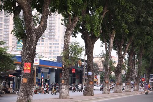 Hàng loạt cây xà cừ ở Hà Nội bị lột vỏ - ảnh 3