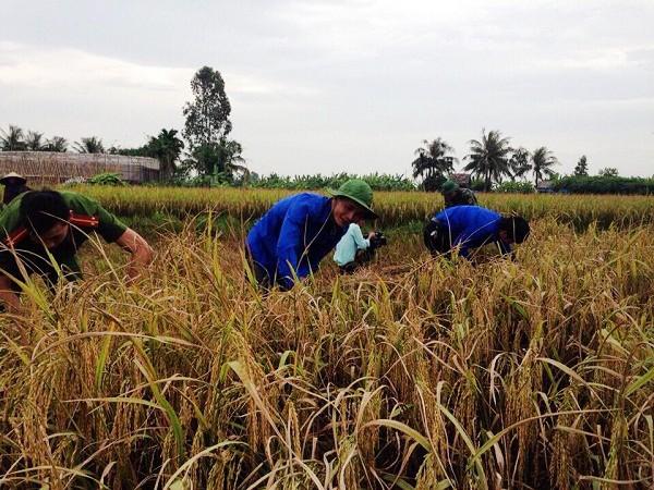 Đoàn viên, thanh niên giúp dân gặt lúa  - ảnh 1
